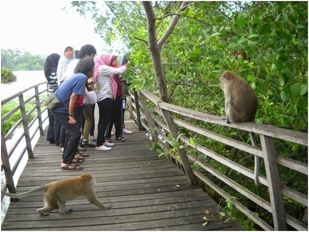 Monitoring Macaca di Muara Angke